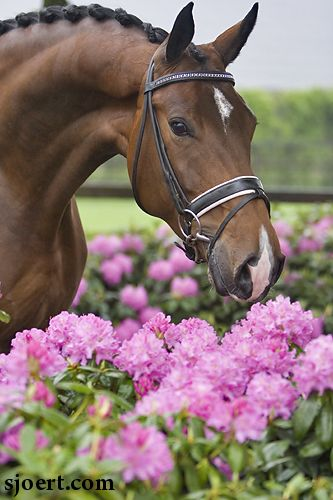 Uusminka- Dutch Warmblood mare and Full Sister to Totilas.
