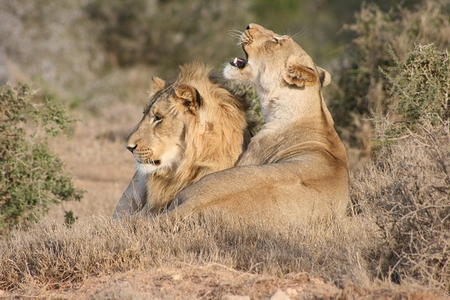 Young Lions at Addo National Park - Port Elizabeth and Addo, South Africa by whl.travel, via Flickr