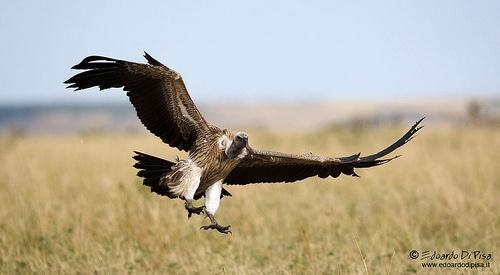 African White-Backed Volture - Masai mara NP - Kenya