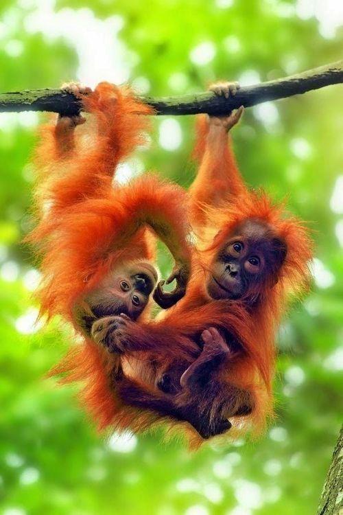 Beliebt Les 25 meilleures idées de la catégorie Bébé orang outan sur  FE63