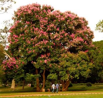 Jarul Tree (Pride of India)