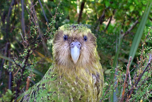 Nature : Le Kakapo, cet animal extraordinaire...