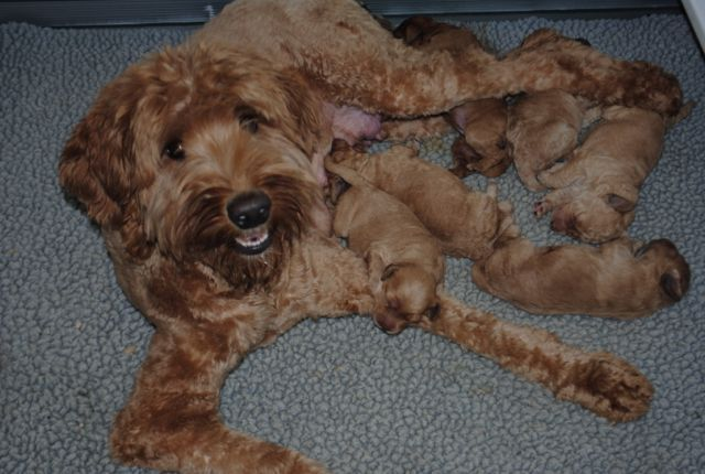 Australian Labradoodles | Tip of the Shore Labradoodles | 508-423-1803 | Specializing in mini & medium sized dogs - Upcoming Litters