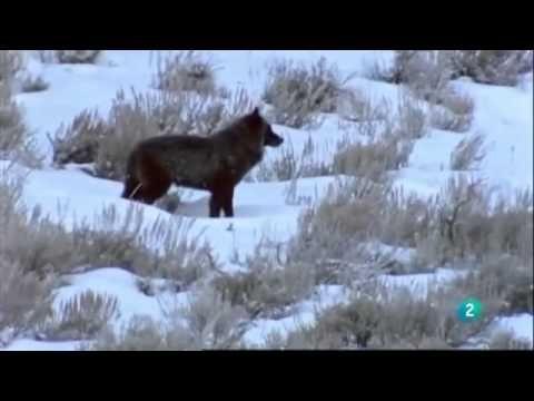 Documentaire Loup noir du Yellowstone / Full documentary wildlife nature new 2014
