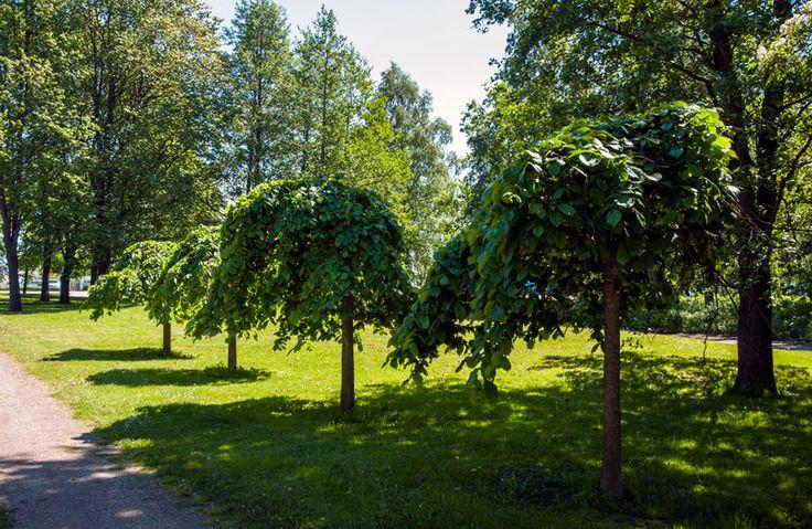 Pajalahden puistossa kasvaa harvinaisia riippajalavia [Hemmo Rättyä]