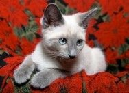 Lynx Siamese cats came about from the accidental mating of a purebred Seal Point with a tabby.
