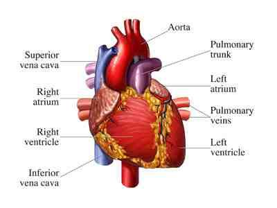 427 best health images on pinterest normal heart cardiac human body diagram for kids human body outline heart ccuart Images