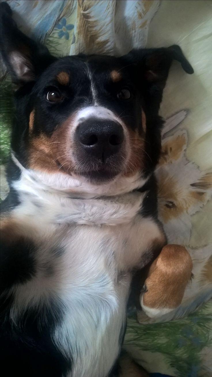 Abi(gail), appenzell dog