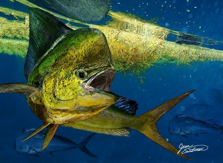 Mahi Mahi | If I'm not going to catch anything, then I 'd ...