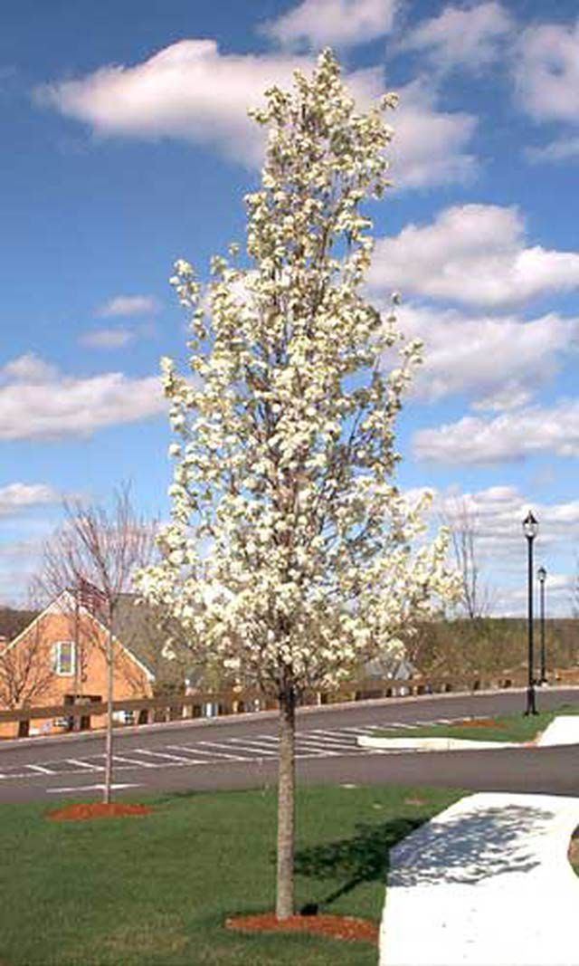 Pictures of White Flowers: Picture of Callery Pear Tree
