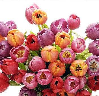 Tulips come in a variety of colors including white, red, yellow, pink, purple, and orange. Dutch and French Tulip flowers come in a wide variety of colors to accommodate your event and wedding floral needs. Tulips add simplicity and elegance to any environment. They were generally harvested during the Spring and have been widely used for declaration of love, though year round varieties are now available. Used commonly for hand tied bridal bouquets and wedding centerpieces, Tulips have…