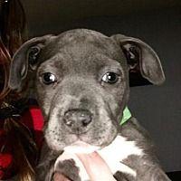 Shelburne, Vermont - Terrier (Unknown Type, Medium). Meet Pixie, a for adoption. https://www.adoptapet.com/pet/20513532-shelburne-vermont-terrier-unknown-type-medium-mix