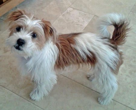 Bo the Jack Russell/Shih Tzu Mix