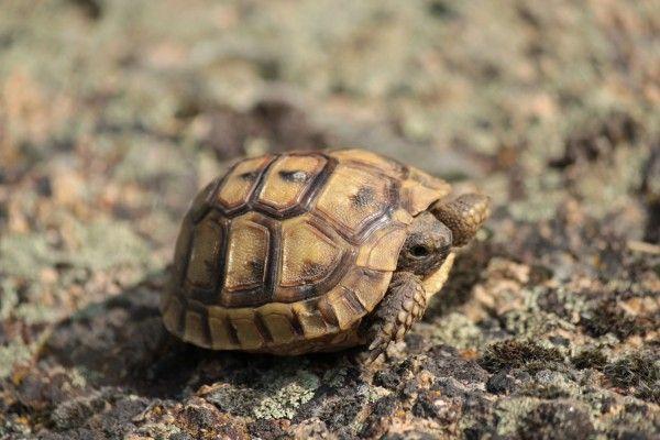 Želva žlutohnědá