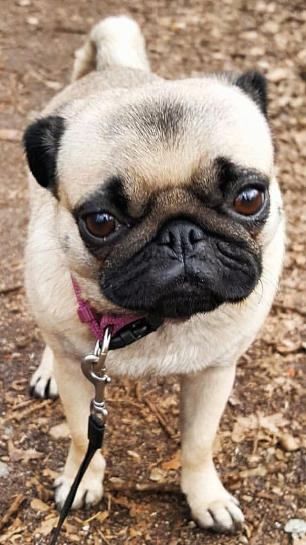 Pin By Pacey S Mom Has Got It Goin On On Puggly Pugs Best