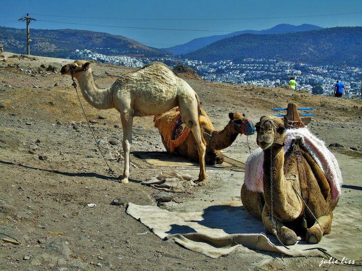 Lovely Camels...