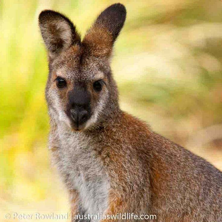 The Red-necked #Wallaby is a #beautiful #Australian #Kangaroo #aus_wildlife