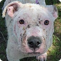 Pit Bull Terrier Mix Dog for adoption in New York, New York - Lincoln