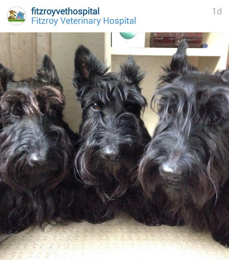 Scottie Mom: Scottish Terriers of Instagram: May 4