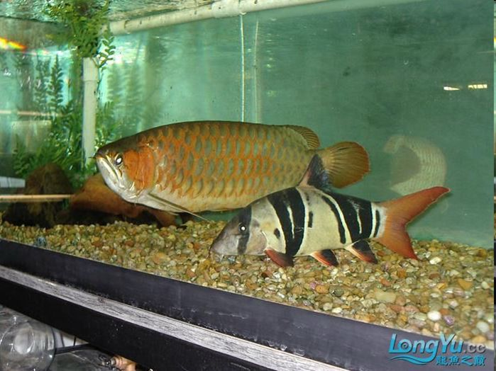 Mature clown loach please note clown loaches do not for Fish tank care