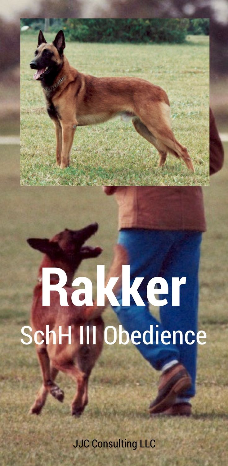 A Video Of A Belgian Malinois Called Rakker Performing A 90