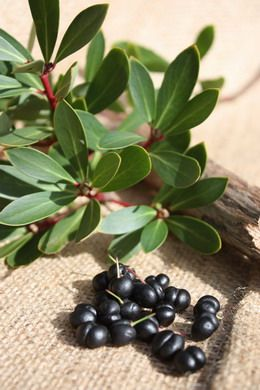 Tasmanian Mountain Pepper Berries - pepperberry.net.au
