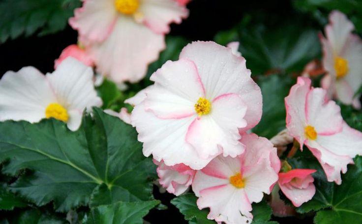 Variegated-Begonias