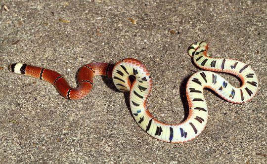 McClelland Coral Snake - Sinomicrurus macclellandi  Sinomicrurus macclellandi (Elapidae) ist eine schöne giftige Korallenschlange in Südostasien beheimatet. Es ist eine terrestrische, dämmerungs- und nachtaktive Schlange, die von anderen Schlangen-Feeds.