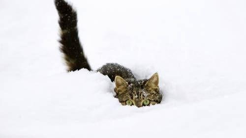 Скачать бесплатно широкоформатные обои Снежный охотник 1920x1080 на рабочий стол Full HD, картинки, фотографии и заставки категории Кошки для компьютера и ноутбука | OboiFullHD.ru