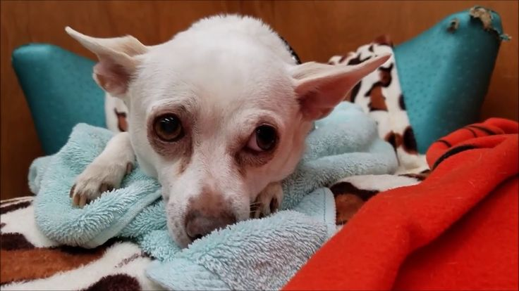 12/31/17 - HOSPICE CARE - Opal, a female Chihuahua mix at Muttville