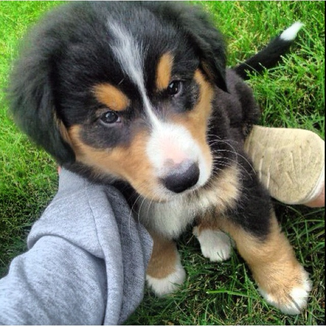 Bernese mountain puppy :)