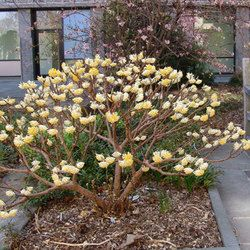 """Edgeworthia chrysantha, clove scented, height and spread 1.5m. """"Red Dragon"""" has orange-red flowers."""