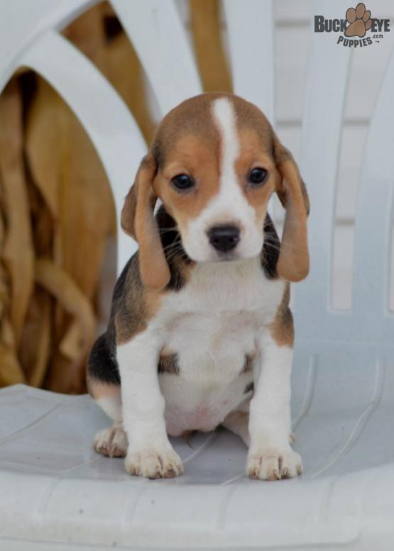 Pin By Thresa D Rabb On Beagle Beagle Puppy Beagle Dog Pocket
