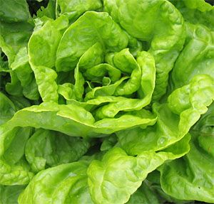 Growing lettuce can be a simple and rewarding task, with fast results and a tasty fresh crop.  Lettuces grow well in cooler climates and are particularly well suited to the UK.