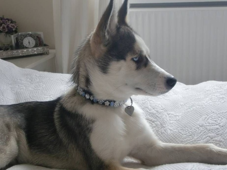 Beautiful Chiko wearing a VOSS BY VOSS collar - dog of Actress Claire Ross-Brown