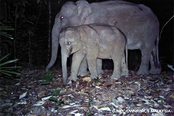 Asian elephants in the forests in Endau-Rompin National Park, Malaysia. -- Wildlife Conservation Society -- 2-10-16