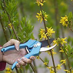 Forsythien nach der Blüte schneiden