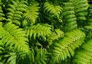 How to grow resurrection ferns on trees