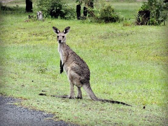 Australia - Queensland - kargaroo
