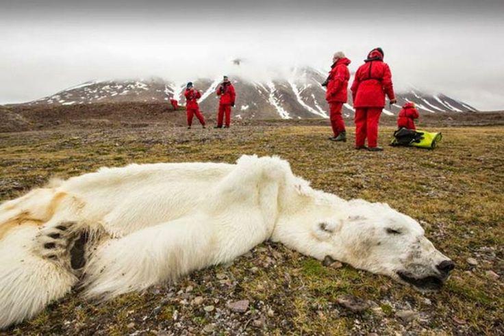 Zdechły z głodu niedźwiedź polarny.