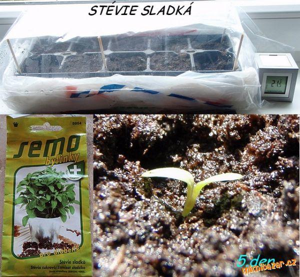 Pěstování Stévie sladké ze semínek