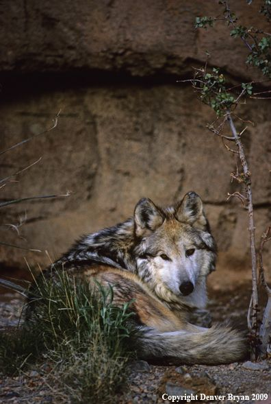 Mexican Gray Wolf, photo by Denver Bryan