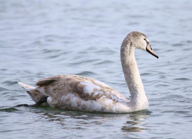 https://flic.kr/p/7exZaG | Mute Swan immature | Lasalle Park, Burlington, Ontario. November 9/09.