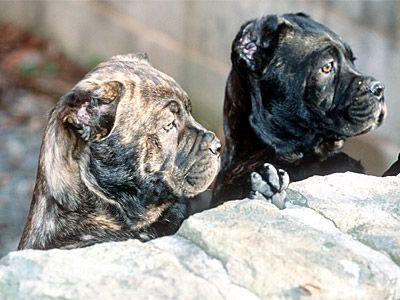 Cane Corso Puppies | Cane Corso Breeders | Cane Corso Mastiff I wanna bring them home & doctor them up. Cute!