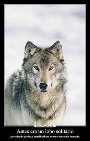 Resultado de imagen de lobo solitario imagenes