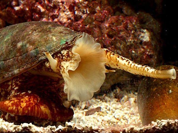 Picture of a geographic cone snail