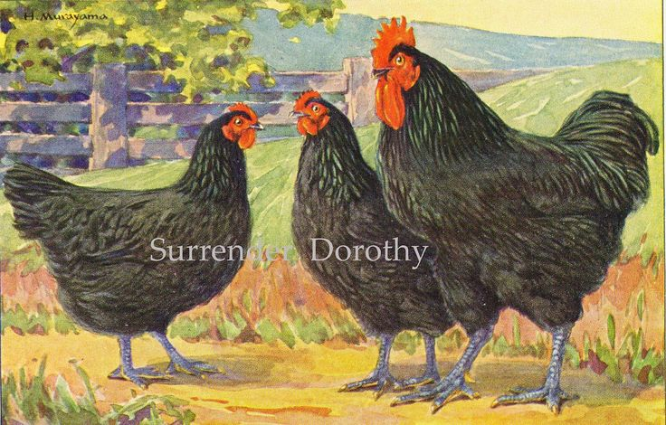 Jersey Black Giant Chickens Hashime Murayama 1920s | by SurrendrDorothy