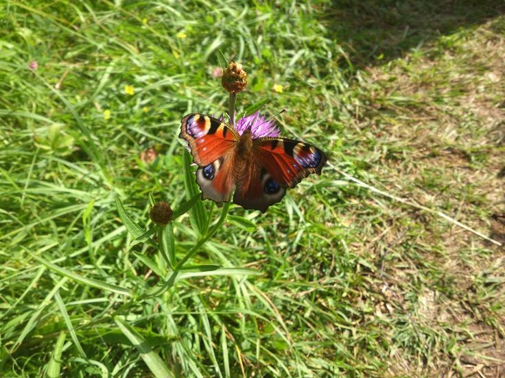 Butterfly on Gällnö island, Stockholm archipelago 2012.