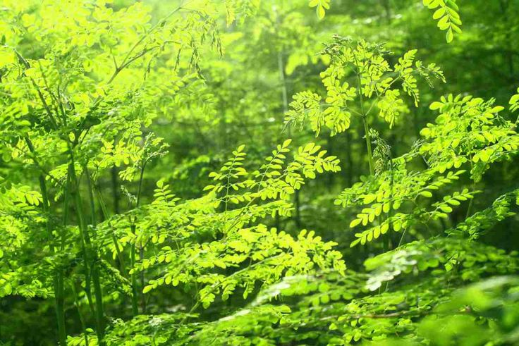 Moringa: Miracle tree helps beat cancer #health #cancer #miracle