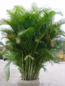 The Graceful Areca Palm Tends To Grow In Clumps The Adult